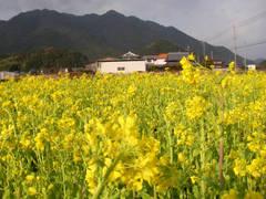 201103菜の花
